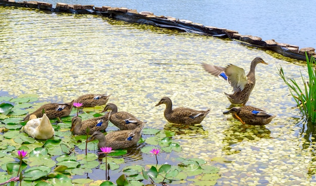 Wild duck swimming in lotus pond