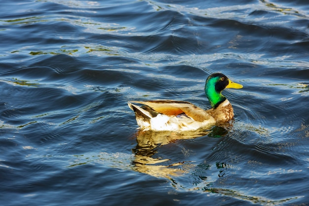 Wild duck swimming on in mountain lake on the water