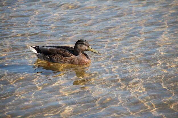 湖、トップビューで泳ぐ鴨