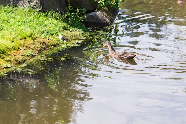 山の湖で泳ぐ鴨