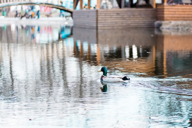 A wild duck swims over a city pond in the park