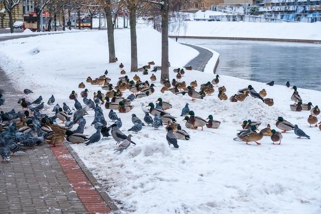 Дикие утки и голуби у реки нерис в вильнюсе. зимнее время в летуве. животные.