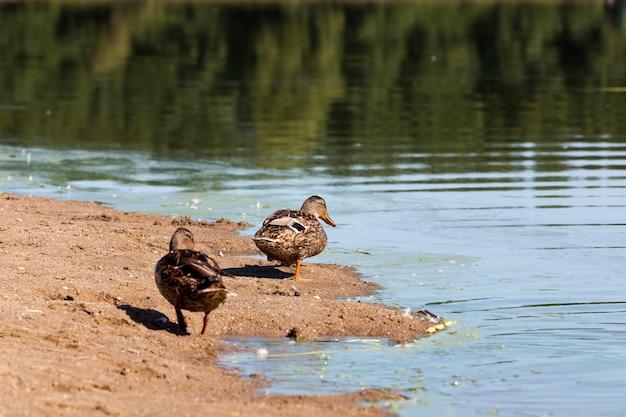 レクリエーションや狩猟中の野生のカモ、湖の領土の野生の水鳥、自然環境のアヒル