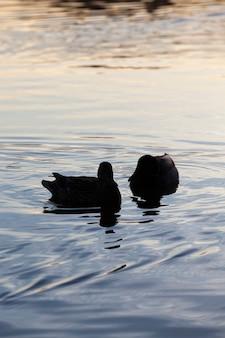 湖に浮かぶ野生のカモ、水中に浮かぶ美しい水鳥のアヒル、湖や川の水に浮かぶ野生のカモ