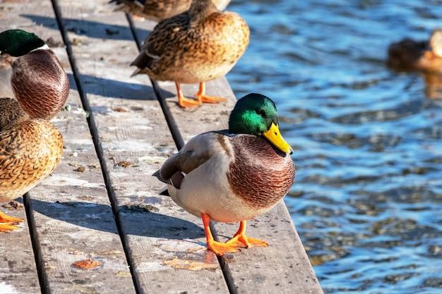 Дикие утки пасутся на пирсе и плавают на пруду