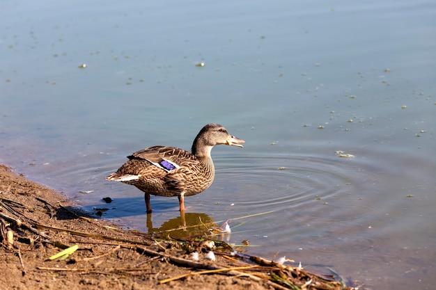 Дикие утки в природе летом или весной, утки на свободе и прилетели жить в европу.