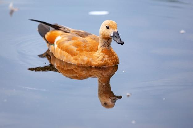 Дикие утки в парке на поверхности воды и на лужайке