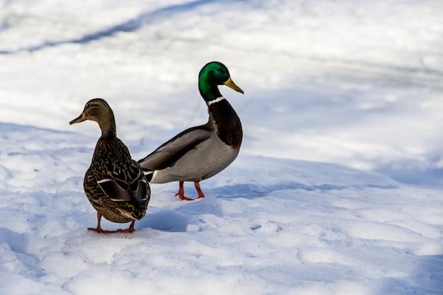 Дикие утки зимой на фоне снега. стая ищет пищу.