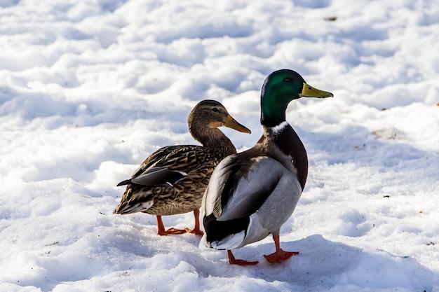 Дикие утки зимой на фоне снега. стая ищет пропитание.