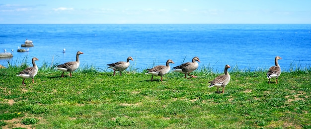 Wild ducks mallard anas platyrhynchos standing on the shore
