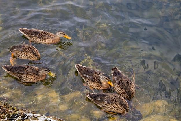 Дикие утки на поверхности озера