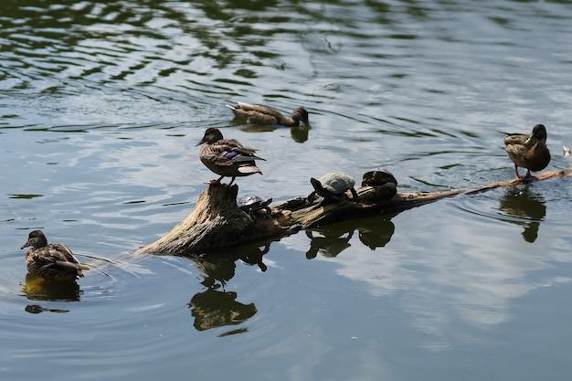 야생 오리는 호수에 쉬고 있습니다. 물 위의 오리