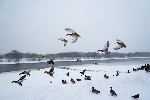 Wild ducks on the snow in the city park. winter.moscow.russia.