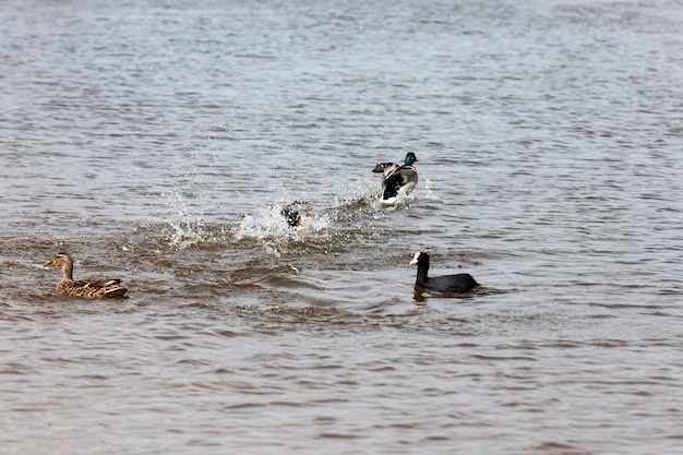Wild ducks in spring or summer in nature, beautiful wild ducks in nature, wild nature with flying and waterfowl