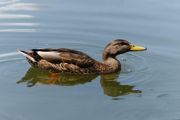 야생 오리는 물에서 수영합니다. 여름에 물에 갈색 오리입니다.