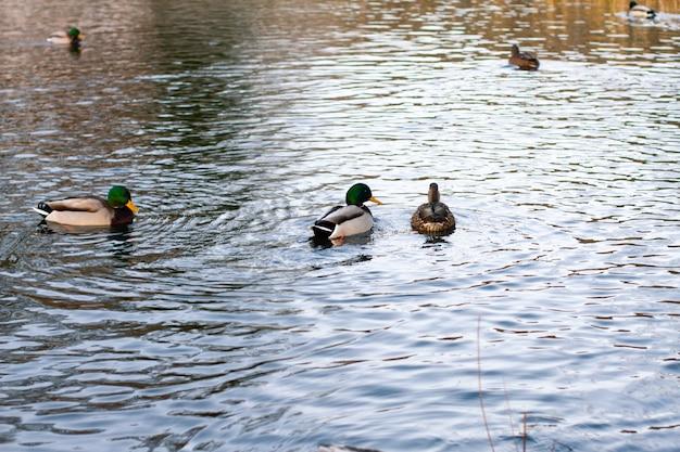 Дикие утки плавают в зимней реке, угол дикой природы. весеннее время года