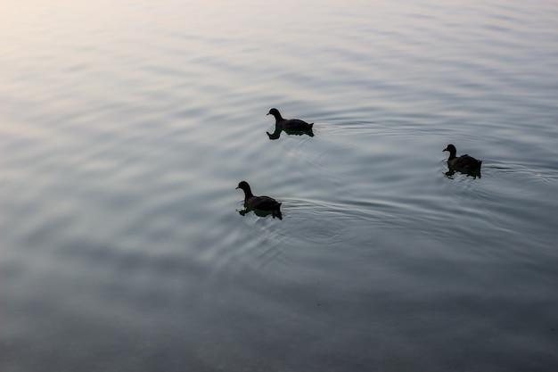 夏の夜に湖で泳ぐ野生のカモ。