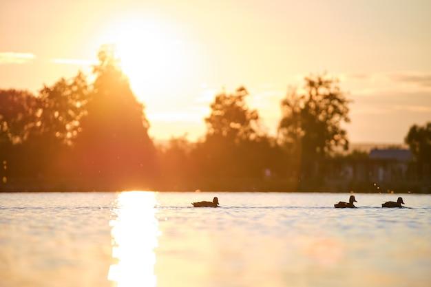 밝은 일몰에 호수 물에서 수영하는 야생 오리. 조류 관찰 개념입니다.