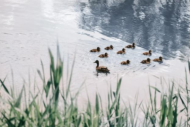 오리 새끼와 야생 오리는 도시 호수에서 수영합니다. 복사 공간 사진