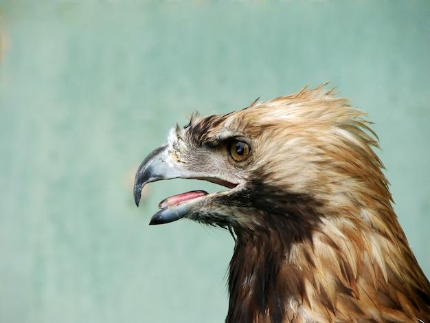 Дикий орел