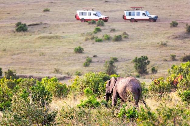 케냐 마사이 마라 국립공원에서 사파리 차량에 맞서는 야생 코끼리. 사파리 개념입니다. 아프리카 여행 풍경입니다.