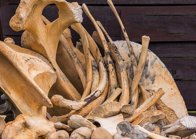 Wild elephant bones
