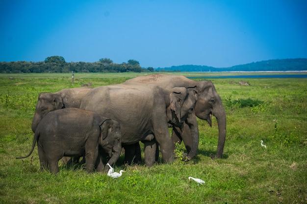 スリランカのミネリヤ、カウダラの野生の象とサファリ
