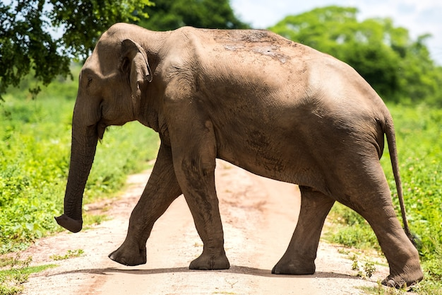 Wild elephants in a beautiful landscape in sri lanka