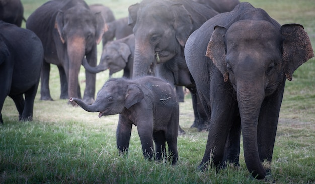 スリランカの美しい風景の中の野生の象