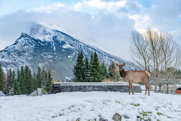 눈 덮인 겨울에 banff skateboard park recreation grounds에서 자유롭게 배회하는 야생 엘크
