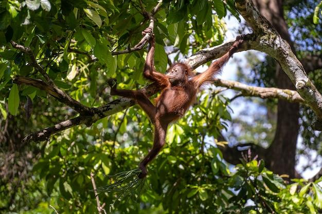 A wild endangered orangutan in the rainforest of island borneo