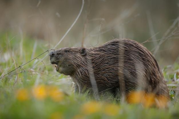 Castoro europeo selvatico nel bellissimo habitat naturale della repubblica ceca