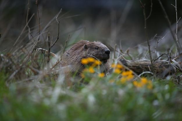 チェコ共和国の美しい自然の生息地で野生のヨーロッパビーバー