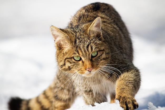 冬に雪の上に近づく野生のヨーロッパヤマネコ