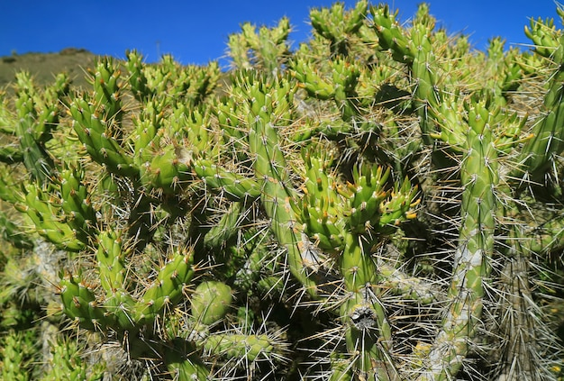 Wild eves needle cactus at the highland of colca canyon arequipa region peru south america