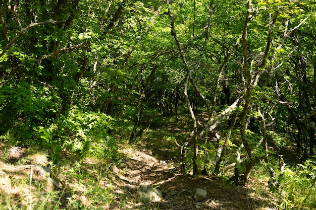 山岳クリミア半島の曲がった木々や枝のある野生の素晴らしい山林。