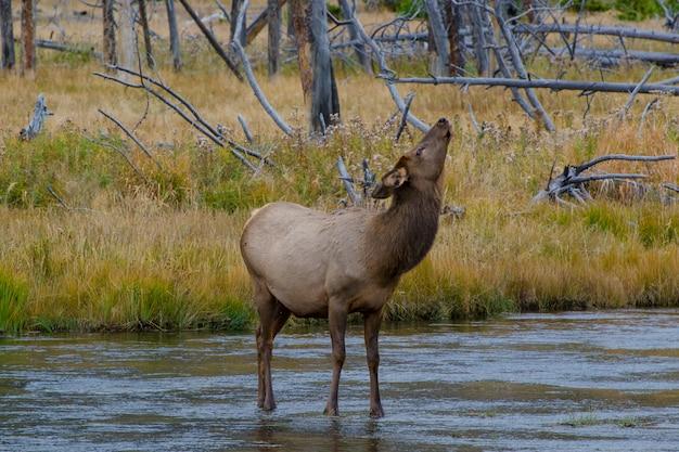 野生の雌のエルクがイエローストーンのマディソン川を渡っている間に中流を一時停止