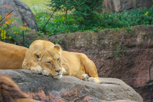 Wild female lion relaxing sleeping on the rock stone.