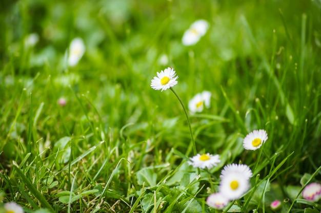 Wild field with daisy flowers