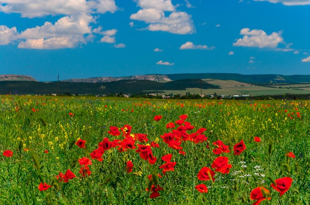 Wild fields of red poppies in crimea, bakhchisarai.