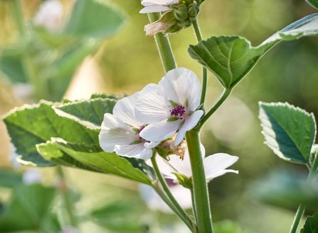 庭の野生の花アルテアオフィシナリス。