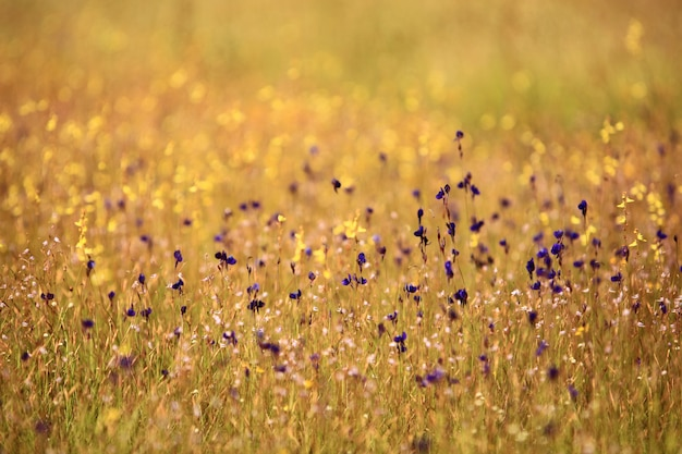 Wild flower field at the rocky plateau of pha tam national park in ubon ratchathani thailand