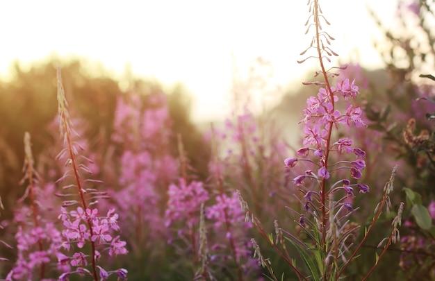 일몰에 안개에 야생 꽃