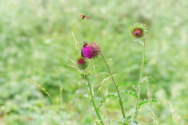 Дикий цветок с бабочками. колючий цветок и черный красный мотылек. черная бабочка с красными пятнами сидит на зеленой траве.