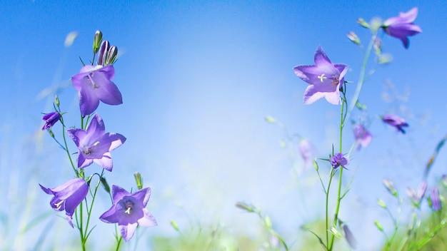 野生の花のブルーベル。紫青花カンパニュラペルシフォリアベルフラワー