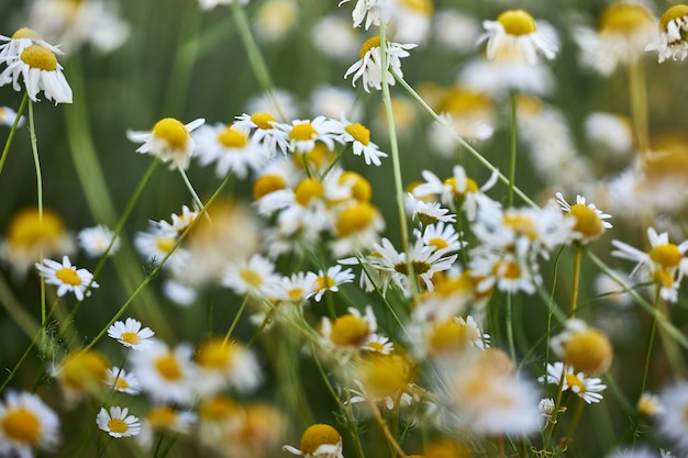 Wild flowers of the chamomile, the flowering of wild plants, herbal flower