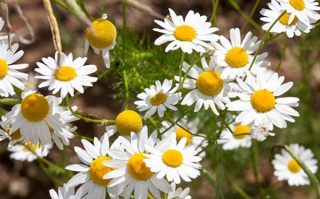 農地に生えている白いカモミールの野花。夏にクローズアップで撮った写真