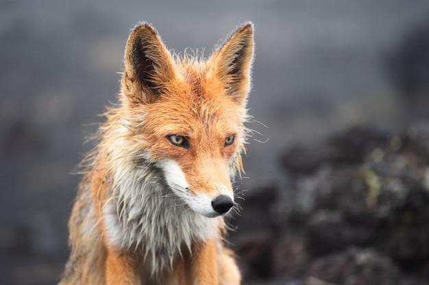 Wild fox and blurred rocks