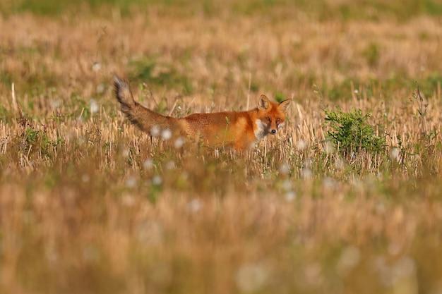 Wild fox hunts mice in the field