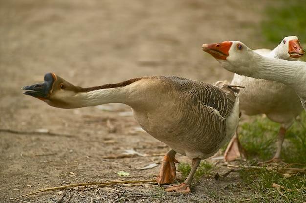 Дикие гуси в атаке и оборонительной позиции в их естественной среде обитания